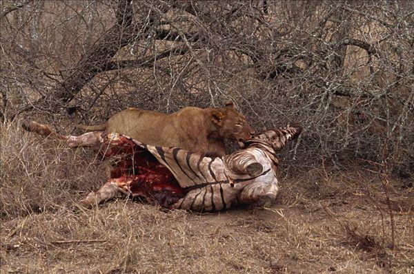 狮子捕猎简笔画