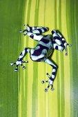 黑色,绿色,青蛙,哥斯达黎加,中美洲