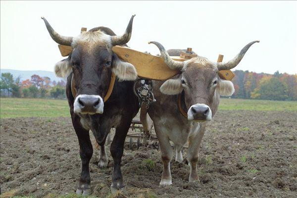 动物 羚羊 牛 600_450