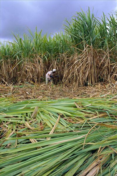 甘蔗,切,手,留尼汪岛,印度洋-全景图片-读图时代