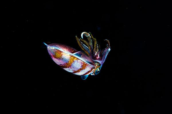加勒比,礁石,鱿鱼,多米尼克,西印度群岛,中美洲