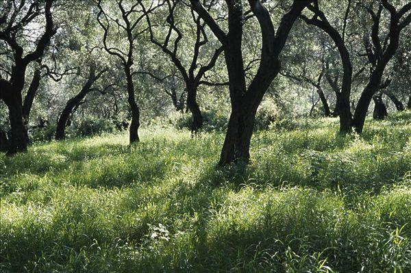 希腊橄榄树林_全景图片图片