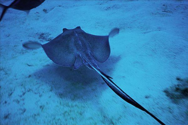 巨型食人鱼图片_大鳐鱼-全景图片-读图时代