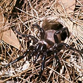 蜘蛛 雌性/雌性漏斗网蜘蛛下载相似预览购买