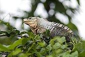 特写,枝条,曼纽尔安东尼奥国家公园,哥斯达黎加
