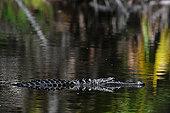 美国短吻鳄,游泳,湖,佛罗里达,美国