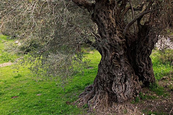 橄榄树_橄榄树图片