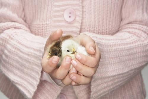 少女抱着两只小鸡 全景图片