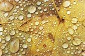 水滴,枫叶