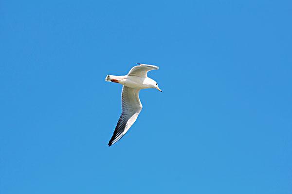 海鸥在飞翔