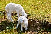 素材 草原上/草原上鄂两只白色的小羊