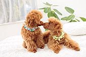玩具贵宾犬,宠物