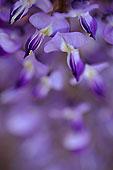 特写,紫藤,花