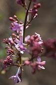 香山植物园内丁香花