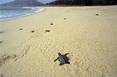 广东惠州海龟保护区内孵化好的小海龟