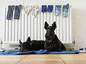 狗,坐,毯子,暖气