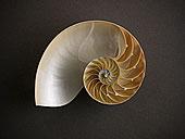 特写,鹦鹉螺贝壳