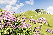 山,野花,提洛尔,奥地利