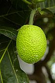 木菠萝,乡村,珊瑚海岸,维提岛,斐济,南太平洋