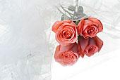两个,玫瑰