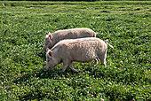 神农架放养有机猪