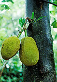 木菠萝,树上,斯里兰卡