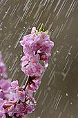 普通,地钱属植物,银莲花,巴伐利亚,德国,欧洲