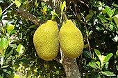 成熟,木菠萝,泰国