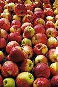 苹果,传送带