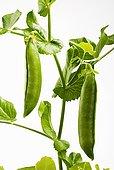 豌豆荚,植物