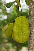 木菠萝,热带水果