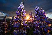 羽扇豆,冰岛,欧洲