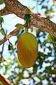 木菠萝,诺西空巴,马达加斯加,非洲