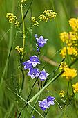 风铃草,上巴伐利亚,巴伐利亚,德国,欧洲