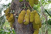 木菠萝,平和,不动产,北方,喀拉拉,西高止山,印度南部,亚洲