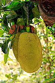 木菠萝,水果,好奇,马达加斯加,非洲