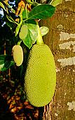 木菠萝,菲律宾,东南亚