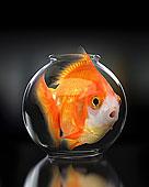 大,金鱼,受困,小,鱼缸