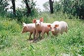 三个,猪,草地