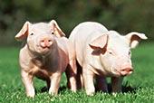 两个,小猪,地点