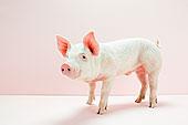 小猪,粉色,棚拍