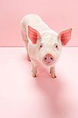 肖像,小猪,棚拍