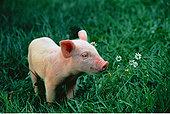 小猪,嗅,花,温哥华岛,不列颠哥伦比亚省,加拿大