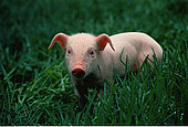 肖像,小猪,地点,温哥华岛,不列颠哥伦比亚省,加拿大