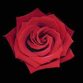 静物,玫瑰