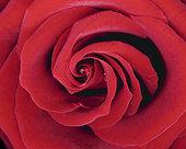 特写,玫瑰