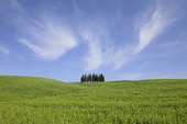 柏树,绿色,山,草地,瓦尔道尔契亚,圣奎里克,托斯卡纳,意大利