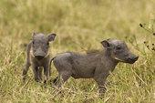 疣猪,小猪,马赛马拉,肯尼亚,非洲