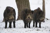 三个,野猪,冬天