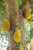 木菠萝,树上,苏梅岛,泰国